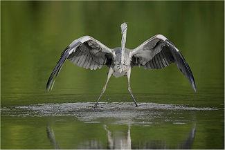 Grey Heron touching down on lake.JPG