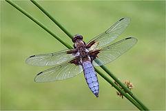 Male Wide-bodied Chaser (Libellula depressa) .JPG