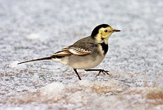 wagtail in snow.JPG