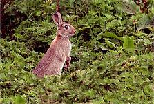 Rabbit in long grass.JPG