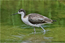 young Avocet wading.JPG
