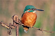 Female kingfisher on rusty wire.JPG