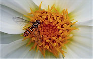 Hoverfly on dalia flower head.JPG
