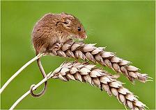 Harvest mouse corn stalks.JPG