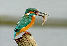 kingfisher on tree stump catching small fish.JPG