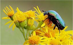Rose Chaffer Beetle on ragwort.JPG