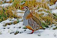 red legged partridge(1).JPG
