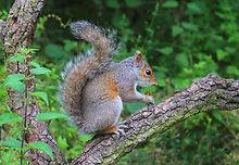 Grey Squirrel 3812.JPG