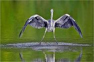 petes grey heron on plank.JPG