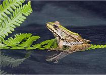 Frog in green ferns.JPG