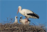 stork with young.JPG
