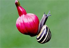 White-lipped snail on fusia.JPG