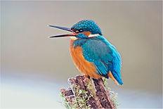 happy kingfisher.JPG