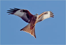 Red Kite soaring on thermals.JPG