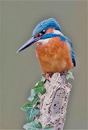 kingfisher on ivy clad post .JPG