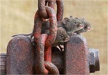 Three House Mice.JPG