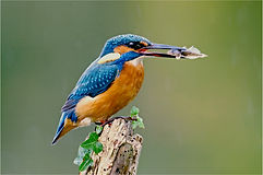 Amended Kingfisher.JPG