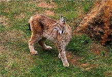 Lynx looking back.JPG