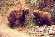 brown bears.JPG