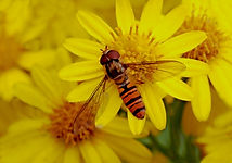 HOVER FLY ON YELLOW FLOWER HEADS .JPG