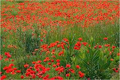 Poppy field spain.JPG