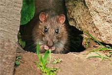 Brown Rat feeding.JPG