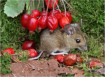 wood mouse collecting hips.JPG