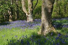 Trees in Bluebell wood.JPG