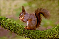 Red Squirrel eating 4.JPG