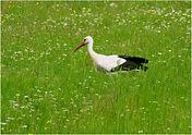 Stork in spanish meadow.JPG