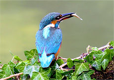 Kingfisher on ivy clad branch 109.JPG