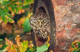 little owl in hollow log.JPG