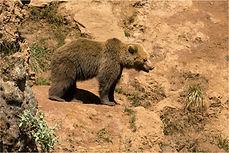 European Brown bear on mountian ridge.JP