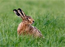 Brown hare listening for danger.JPG