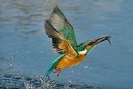 kingfisher fishing.JPG