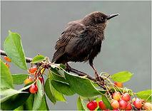 Starling in cherry tree.JPG