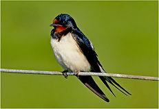 swallow .JPG