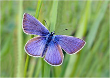 Male Common Blue in Grass.JPG