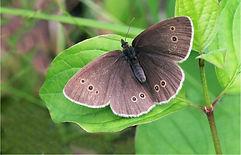 Ringlet( Argynnis paphia) Male.JPG