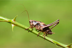 Dark bush cricket.JPG