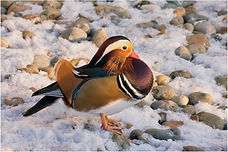 Manderin Duck in the snow.JPG