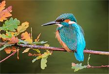Kingfisher on oak tree.TIF
