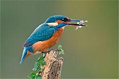 Female Kingfisher with millers thumb good.JPG