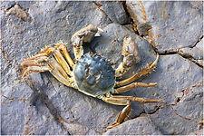 chinese mitten crab.JPG