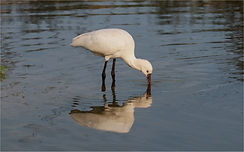 Spoonbill searching for food 2021.JPG