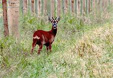 Roe deer near fence .JPG