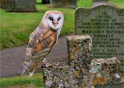 barn owl on tombstones.JPG
