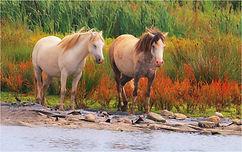 Horses near river.JPG