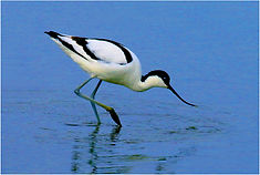 Avocet searching for insects.JPG