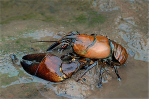 Signal crayfish on muddy bank.JPG